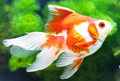 Ikan Mas Koki - Cara Budidaya Ikan