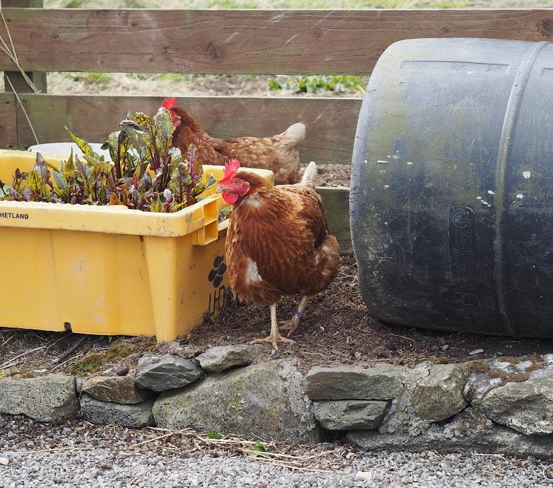 chickens in Burra