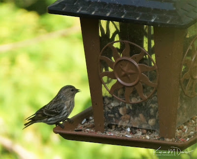 pine siskin on feeder
