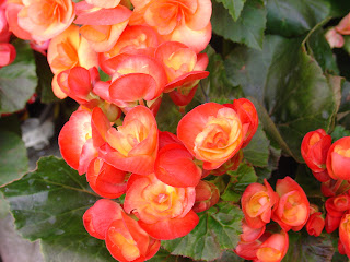 orange begonias - http://photography-passions.blogspot.com