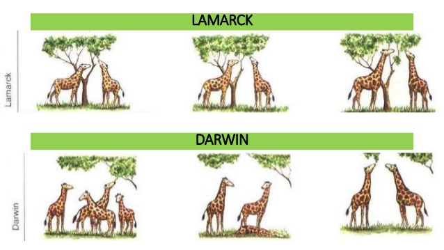 darwin and lamarckian theory of evolution What was the major differences between darwin and  darwin's theory of evolution –the theory  study of genetics seemed to disprove the lamarckian theory.