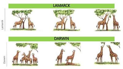 larmack ve darwinin evrim teorisi, zürafa örneği