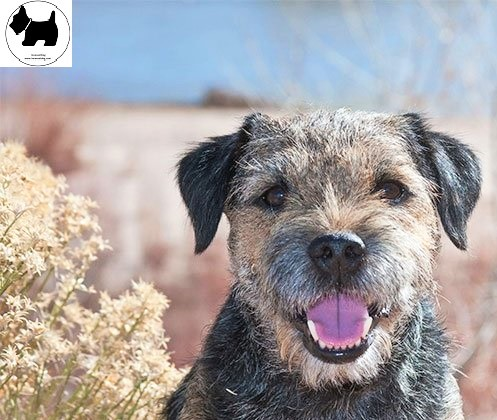 Cutest Dog Breeds, Best Dog, Border Terrier Dog
