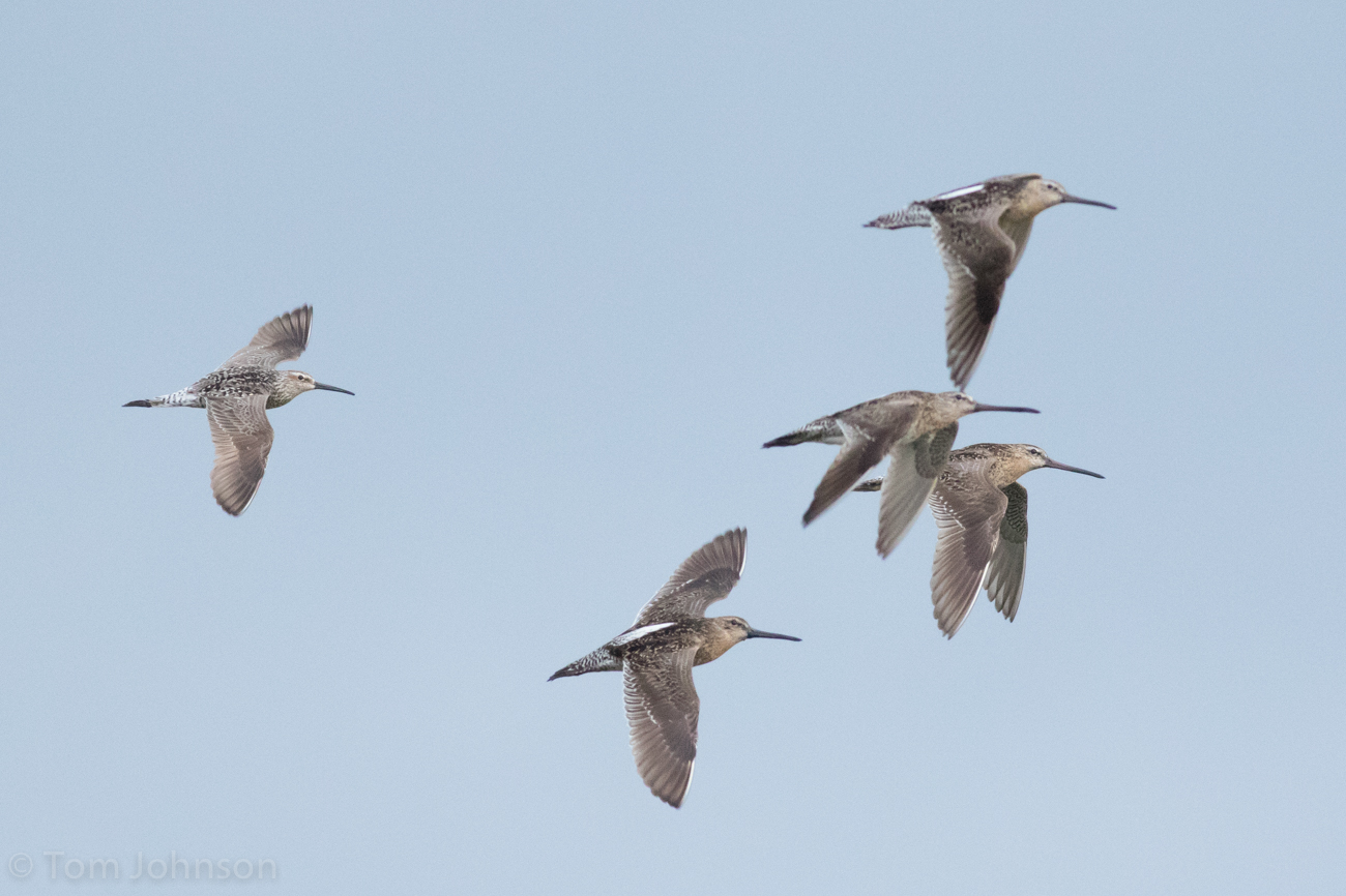 Least sandpiper in flight