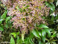 Fotos de rboles de hoja perenne plantas riomoros for Lista de arboles de hoja caduca