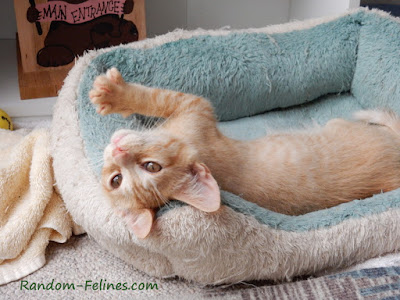 orange kitten in blue cat bed