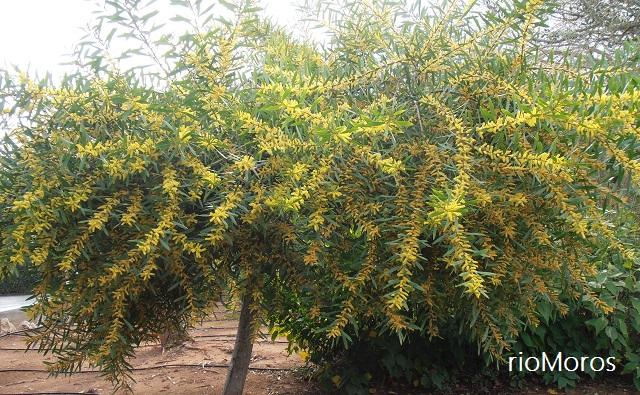 Árbol MIMOSA DORADA Acacia longifolia