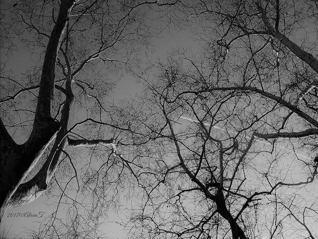 Platanus trees.