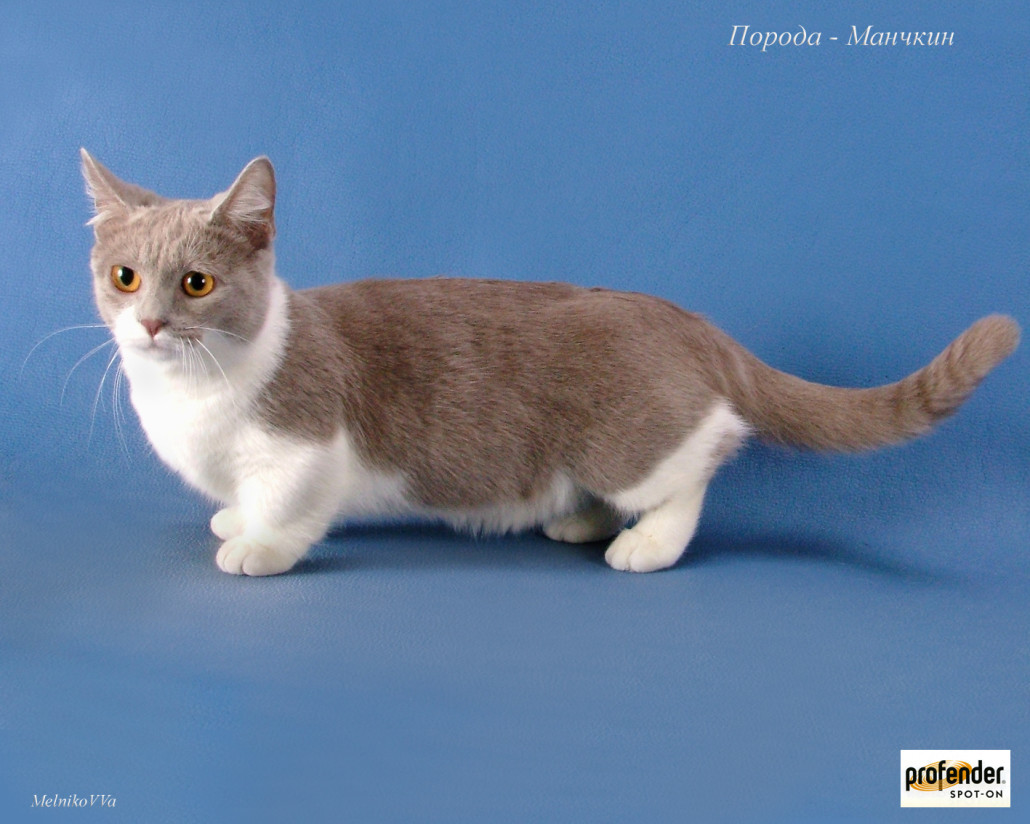Foto Kucing Munchkin Menggemaskan Foto Kucing Terbaru