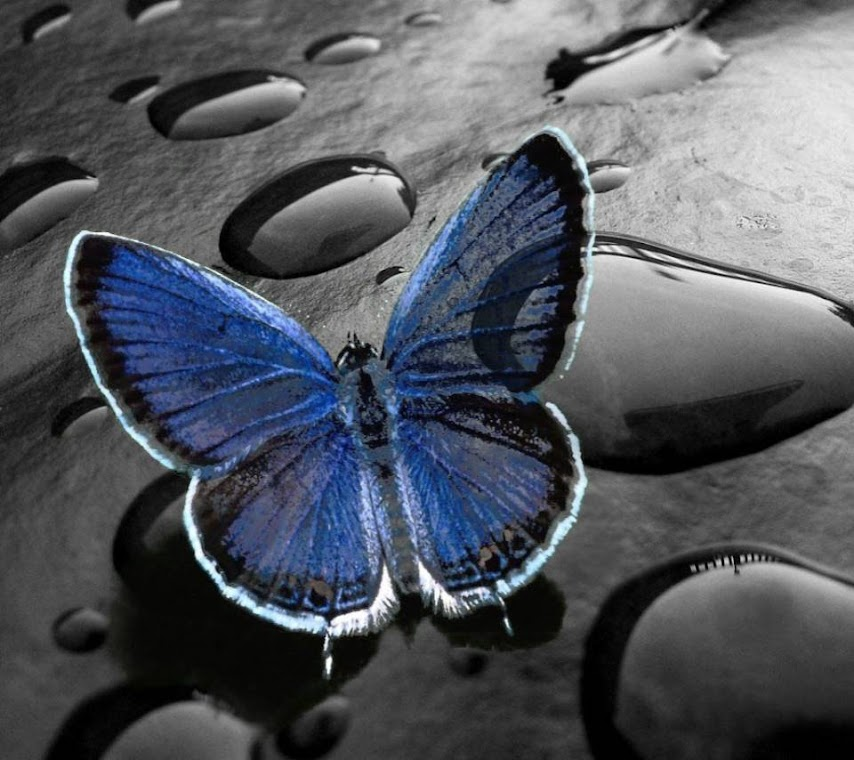 Blue Butterfly Macro HD Wallpaper for Mobile Phone