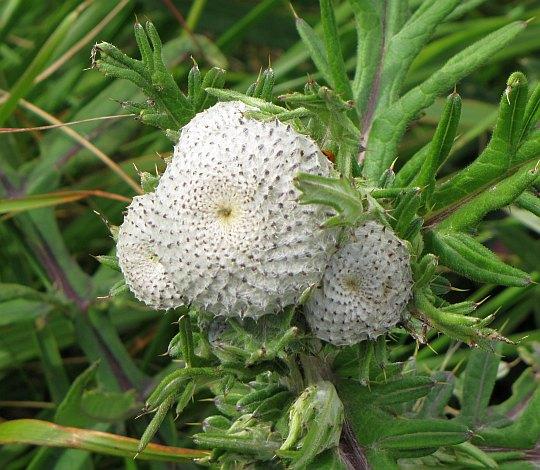 Ostrożeń głowacz (Cirsium eriophorum).