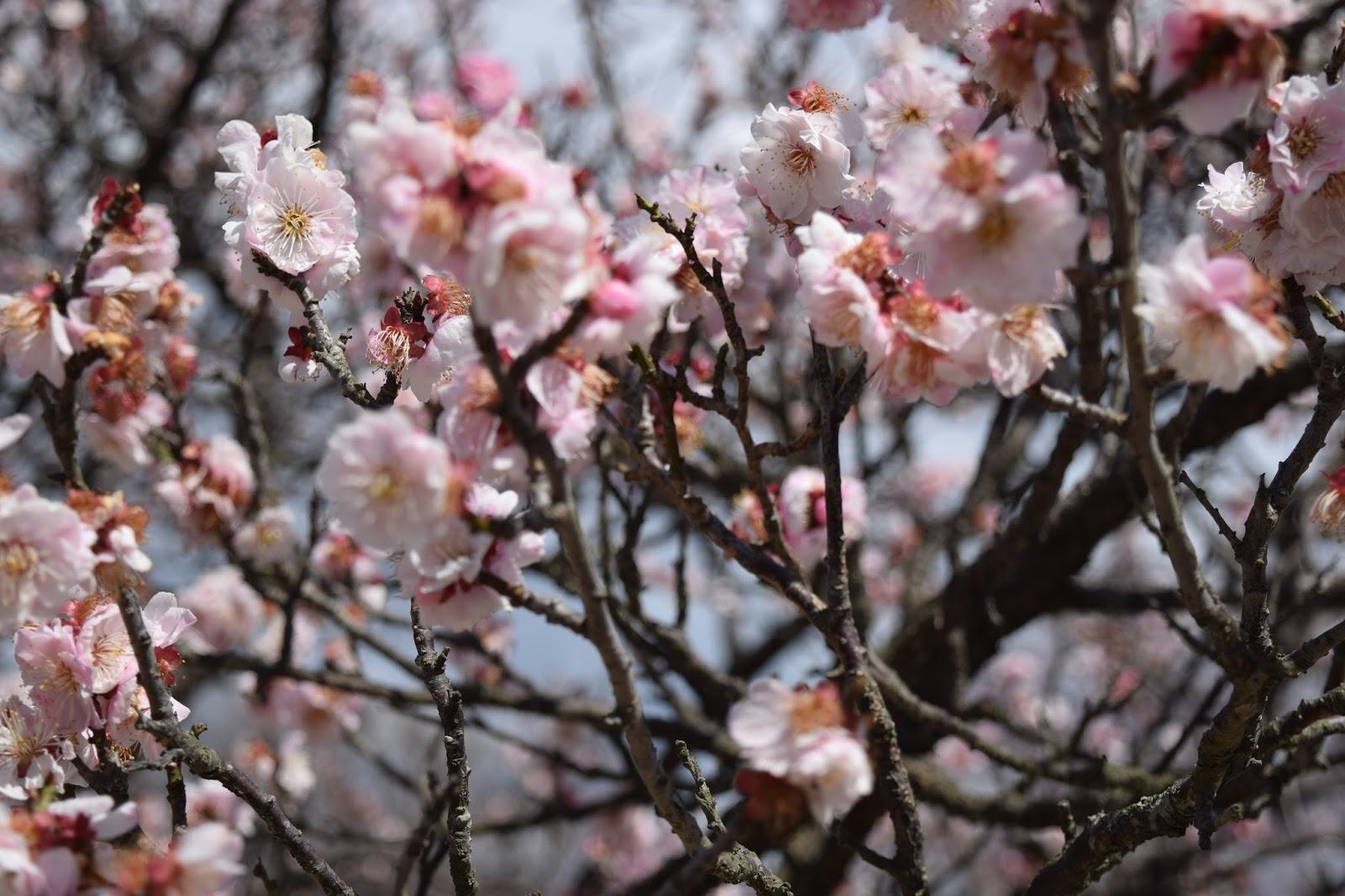Plum blossom Hikone