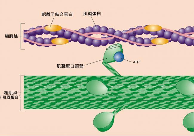 Biological Freak: 細胞內之胞器之(1) 細胞骨架(Cytoskeleton) 07-14-2017