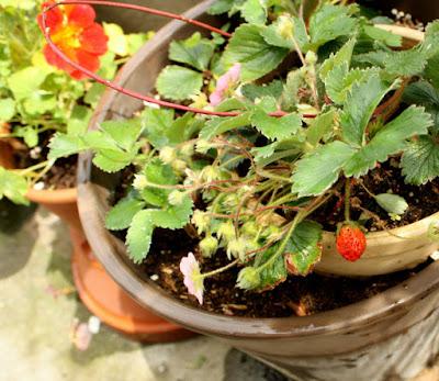 イチゴ鉢植え