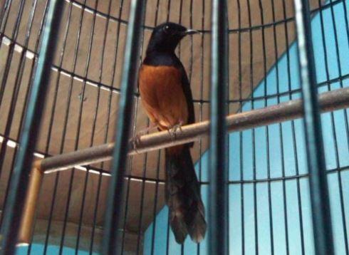Foto 8 Jenis Burung Murai Batu Ciri Suara Fisik Warna Bulu Foto Burung Kicau