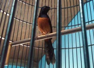 Foto Burung Murai Batu Nias Ciri Fisik Suara Warna Bulu Ekor Hitam