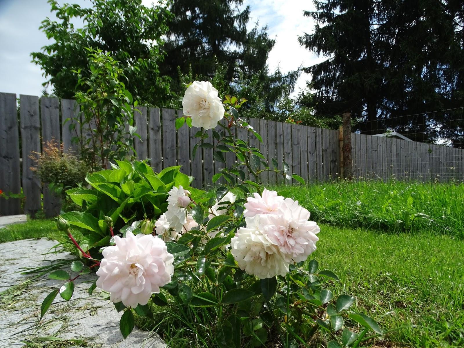 manu s white love rosenbogen terrasse garten hallo sommer. Black Bedroom Furniture Sets. Home Design Ideas