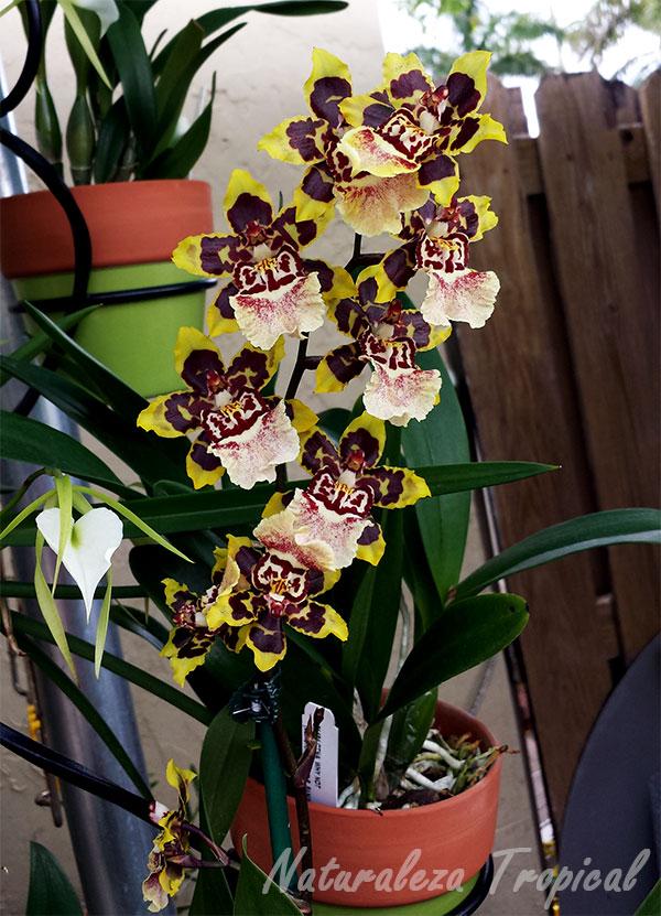 Orquídea florecida creciendo en maceta