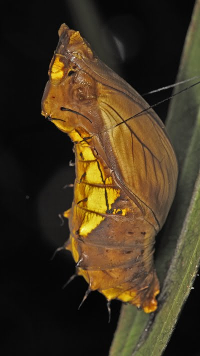 28 best images about chrysalis on Pinterest | Monarch ...