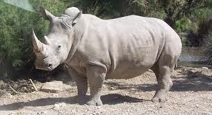 وحيد القرن الأبيض  بالصور والقديو The white rhino