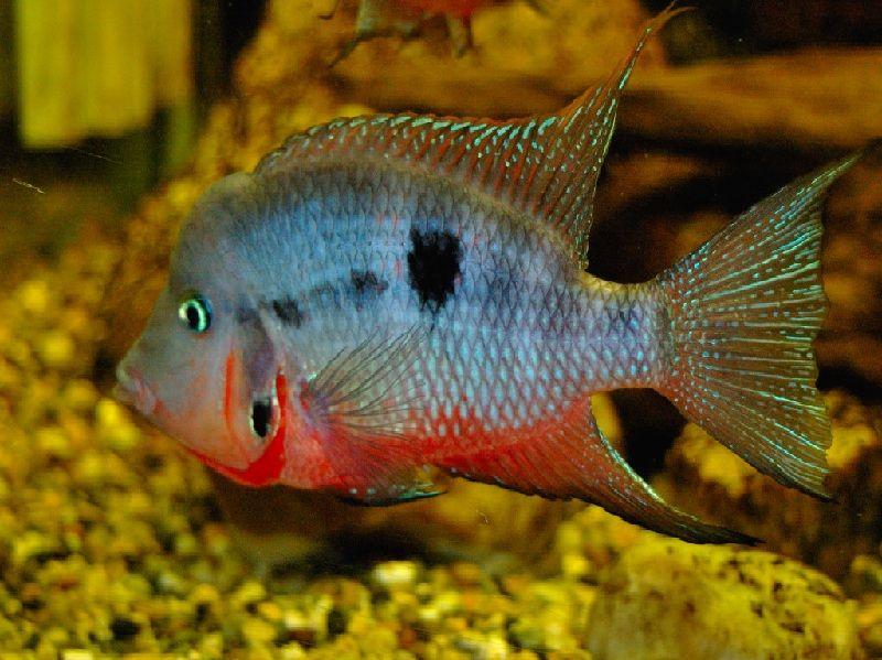 Gambar Ikan mulut Api
