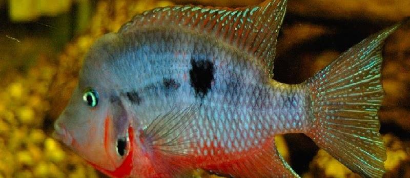 Budidaya Ikan Mulut Api (Firemouth Cichlid)