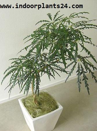 Dizygotheca Elegantissima Araliaceae FALSE ARALIA PLANT
