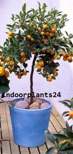 Rutaceae HOUSE INDOOR PLANT IMAGE