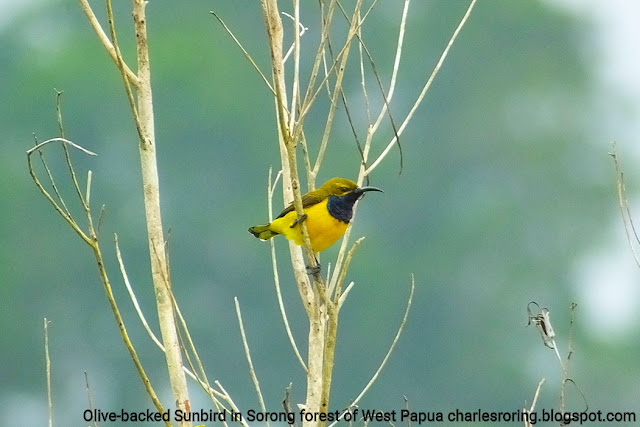 Birdwatching tour in West Papua forest