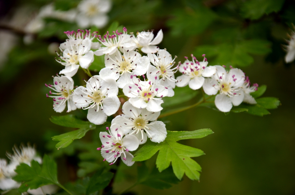 Hawthorn Blossom Flower Wallpaper: Wild Woman Of The Woods: Hawthorn The Hedgerow Healer