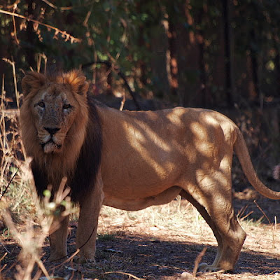 Asiatic Lion at Gir, Gir Forest National Park, Panthera leo persica