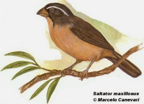 Thick billed Saltator