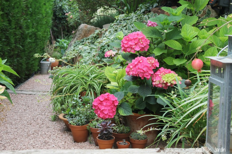 Cultivar hidrangeas en clima seco