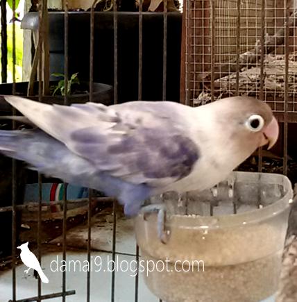gambar perbedaan lovebird vio sf df violet gambar love