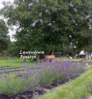 Lawenda Grosso na naszej plantacji