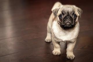 Anak anjing kecil