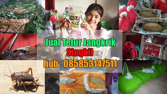 Jual Telur Jangkrik Singkil Hubungi 085853147511