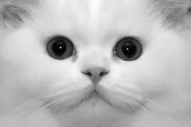 57040af420b6 Ζει στο περιβάλλον του ανθρώπου. Γενικά η γάτα κυνηγάει πολλά είδη ζώων για  τροφή.