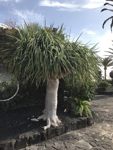 Drachenbaum auf Lanzarote