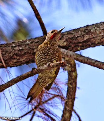 Grey crowned Woodpecker
