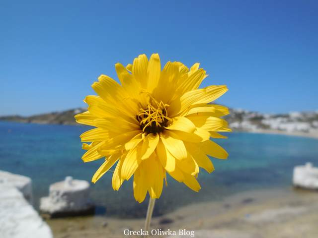 żółty kwiat na tle błękitnego greckiego nieba i morza, Ornos kwiecień 2016