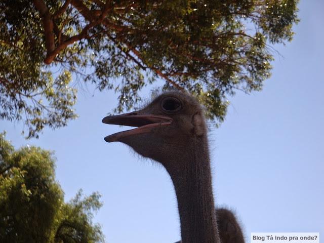 fazenda de avestruz, Oudtshoorn, África do Sul