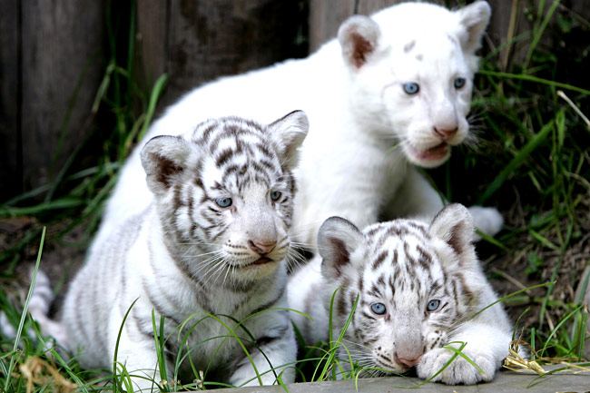 endangered animals species tigers tiger bengal mammals animal three cubs zoo argentina baby buenos aires seen cage hd funny found