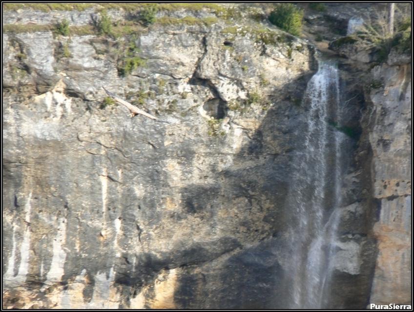 Cascada Del Rincón Del Buitre (Río Escabas) y buitre cruzándola