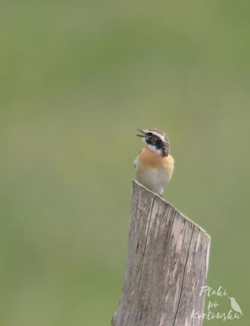 Kolejne zdjęcie śpiewającego ptaka