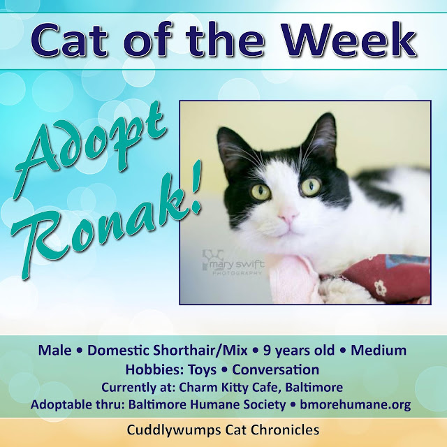 Adopt Ronak, our Cat of the Week!