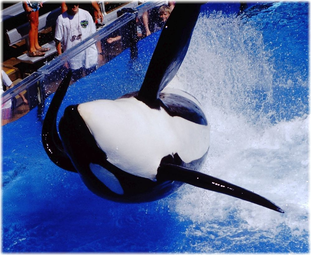 Voice of the orcas seaworld can extend tilikum 39 s legacy for Pool show in orlando 2016