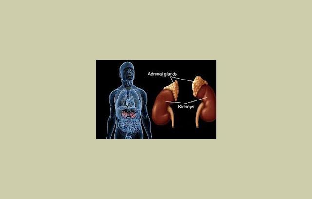 Kelenjar Suprarenal, Kelenjar Adrenal