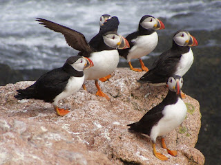 atlantic puffin,top 10 most beautiful birds in the world