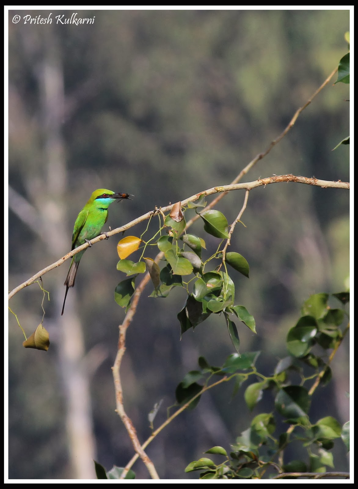 Green Bee-eater with Catch